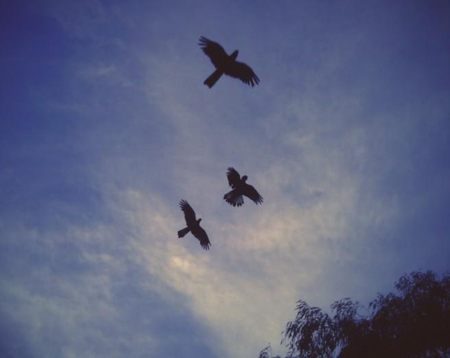 Black cockatoos at dusk