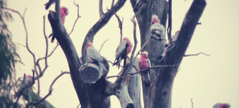 Mad as a gumtree full of galahs