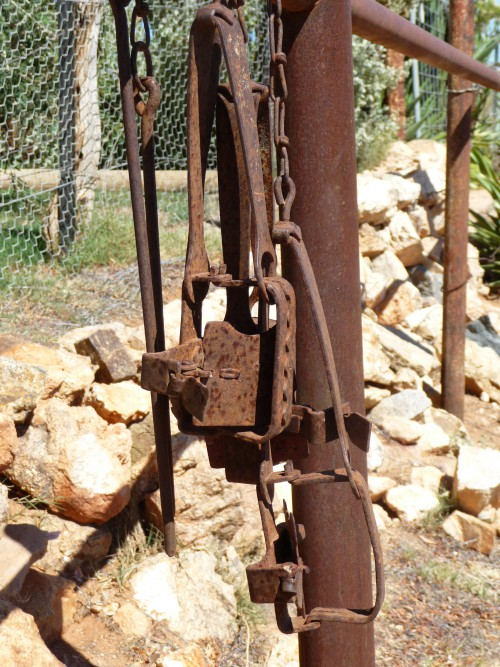Rusted rabbit trap hanging on fence