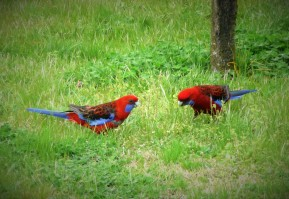 Two rosella parrots