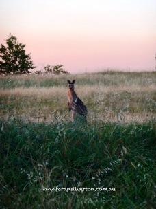 Kangaroo in reverse sunset