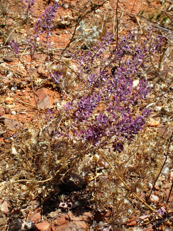 2006-10-01 Outback flowers.JPG