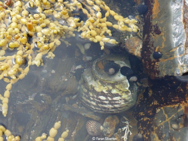 Rockpool with seaweed and sea snails