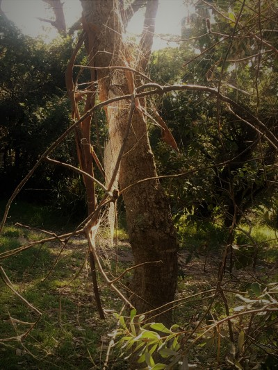 Spider web in the Australian scrub