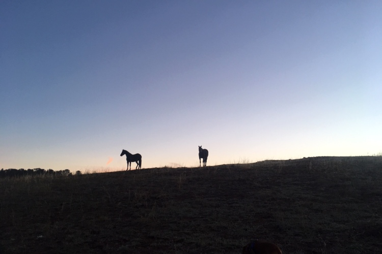 Horses silhouetted against sunrise